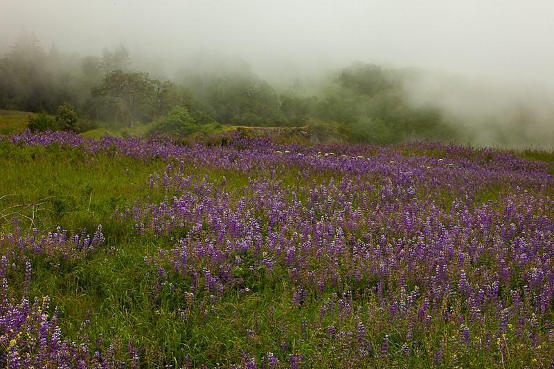 Lupen Meadow, California
