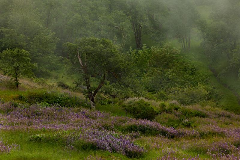 Lupens in fog