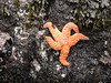 A starfish at Boiler Bay.