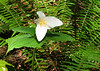 We went for a short hike along Cummings Creek one afternoon. Here's a trillium.