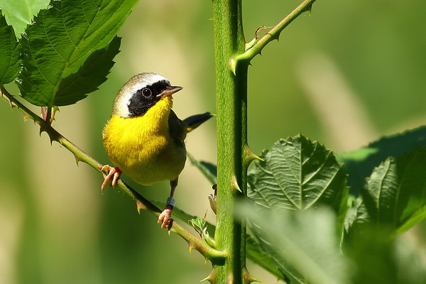 Common Yellowthroat - Sauvie Island,  OR- July 2017