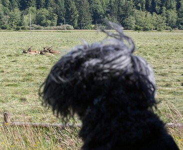 Mochi checking out the Elk near Elkton.