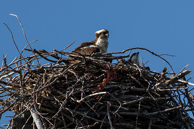 Osprey and 2 juv's in Redding, CA.