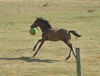 the horse galloped around for a minute or two with the ball. He seemed to be having a fine time and it appeared this wasn't his first time playing with the ball.