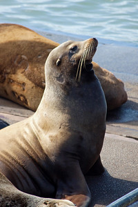 Sea Lion sunning on the dock