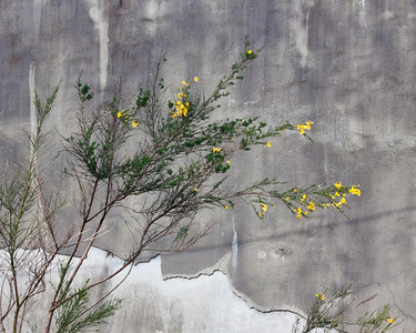 Scotch Broom seems to grow everywhere!