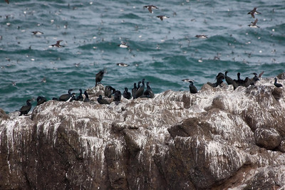 The next 3 pics are not great but I wanted to show the great migration of Common Murres that we witnessed. The sky was full as the Brandt Comorants watched from the rocks!
