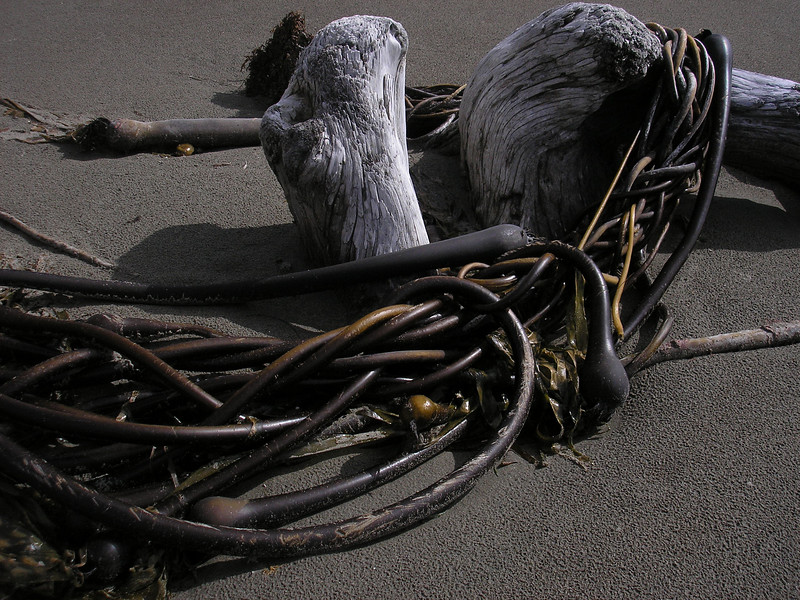 The beach has natural art, this is Sea Kelp washed up on shore and wraped around a driftwood.
