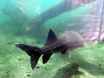 White Sturgeon at Bonneville Fish Hatchery
