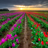 Sunrise in the tulip fields, Wooden shoe, Oregon