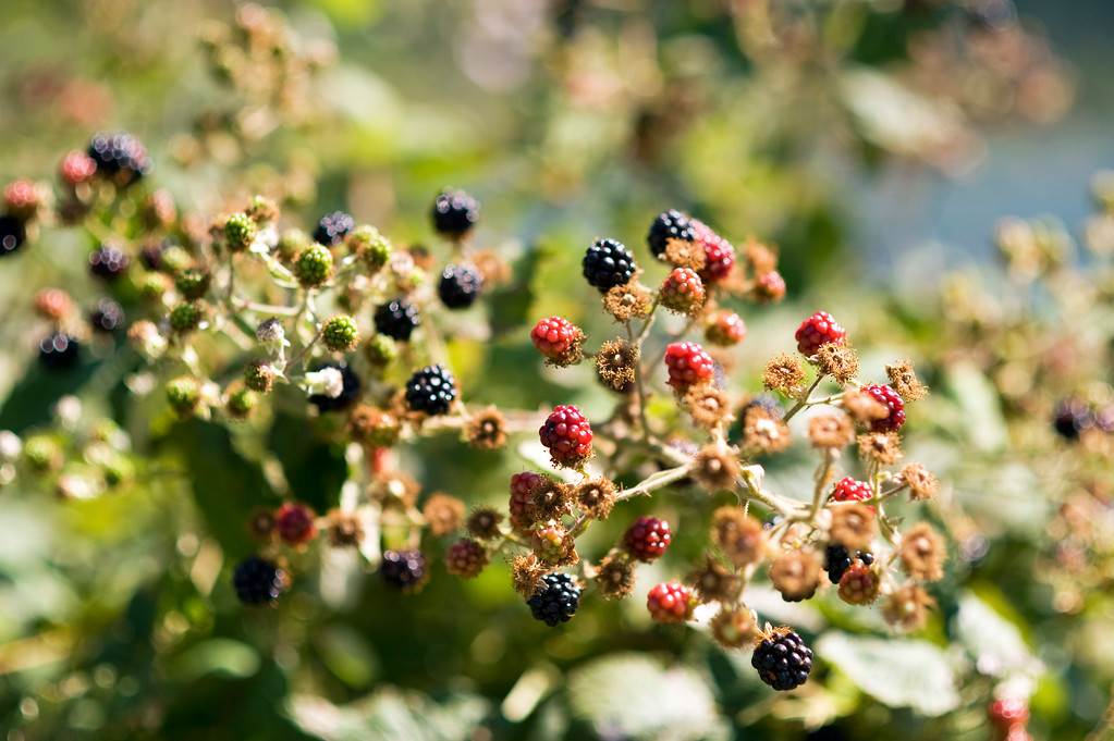 Columbia River blackberries