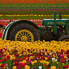 Tulips and Tractor