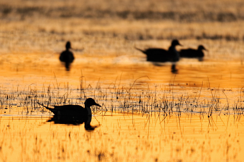 Pintails at Sunrise