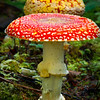Amanita Muscaria, Oregon