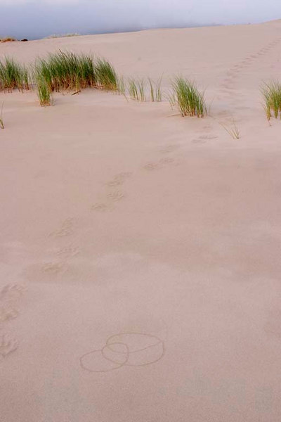A bear's tracks lead across the Oregon Dunes toward one of the many fresh water lakes amidst the dunes.