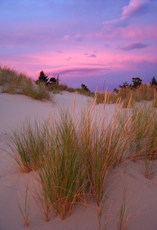Red fescue in Oregon Dunes