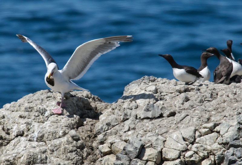Western Gull with Common Murres