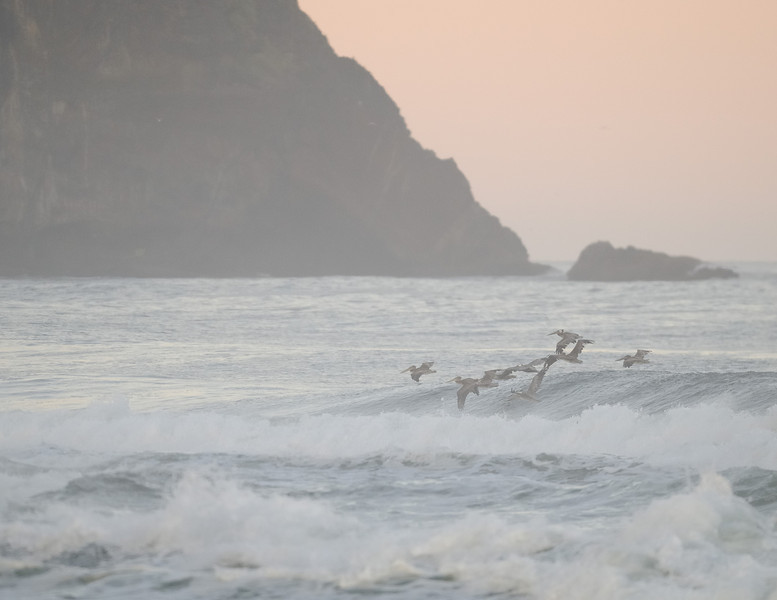 Brown Pelicans Fishing at Proposal Rock