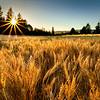 Golden hour. Wheat and sunstar, Western, Oregon.