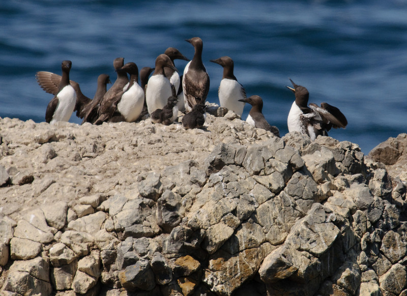 Common Murres with Chicks
