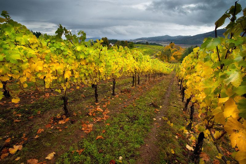 Oregon Autumn Vinyard<br /> <br /> © Douglas Remington - Ethereal Light Photography, LLC. All Rights Reserved. Do not copy or download.