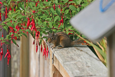 Tyee B&B - Newport, Oregon - backyard chipmunk
