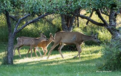 mule deer at our lodge in Winthrop, Washington