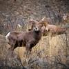 Oregon bighorn