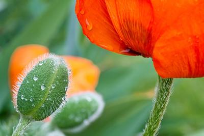 2013 - poppies in the rain, Willamette Valley, Oregon