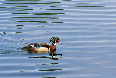 2013 - wood duck, Oregon