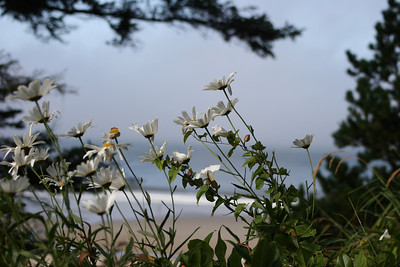 Daisies against ocean at Tyee B&B - Newport, Oregon
