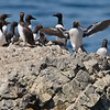Common Murres