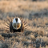 Sage Grouse at Lek