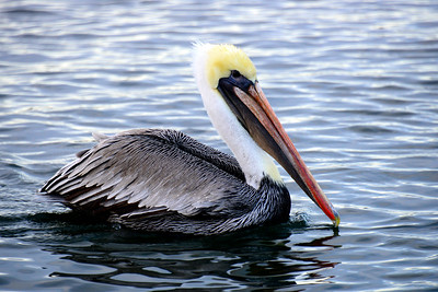 Oregon Travel Photography - Winchester Bay - Pelican