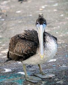 Pelican - Winchester Bay - Oregon Travel Photography - USA