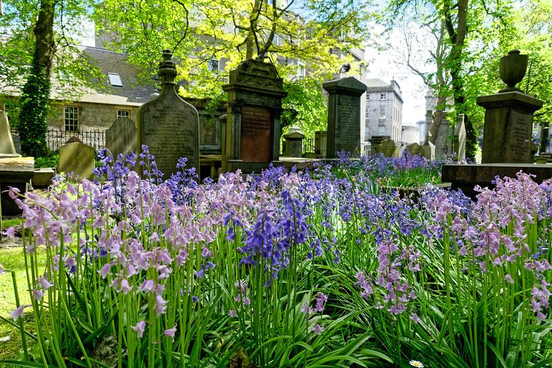 Bluebells in Aberdeen.