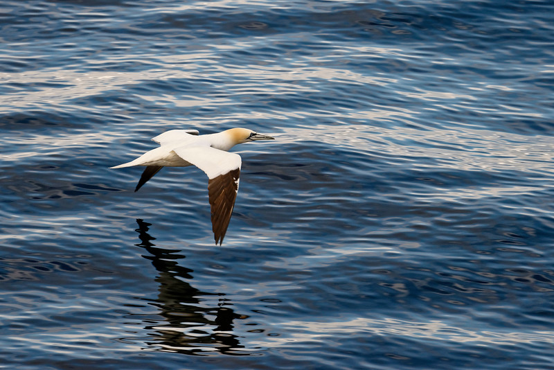 Gannet, Isle of Noss, Shetland.