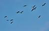 Skein of Greylag Geese