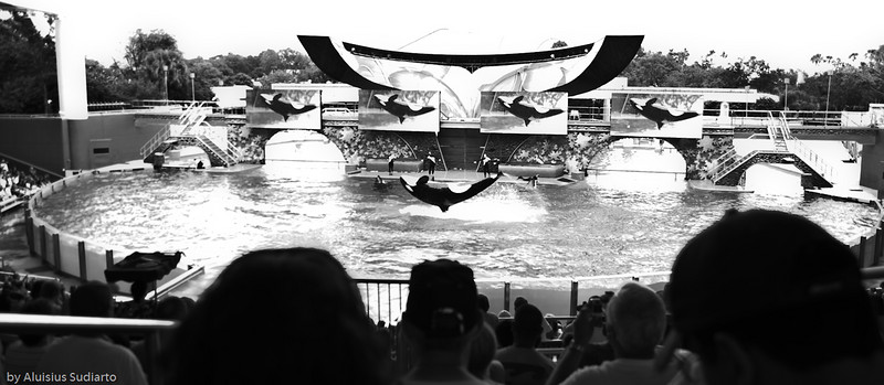 Shamu showing off.