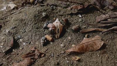 Hermit Crabs house hunt 2 Osa, Costa Rica February 2021