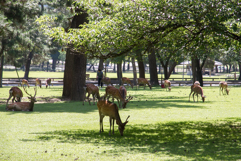 Nara was littered with deer, regarded as messengers of the gods.