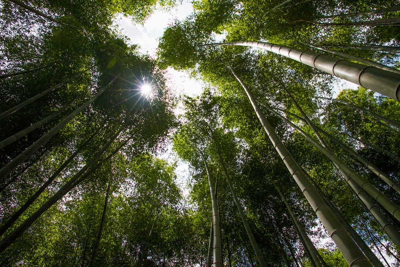 The sun reaches downwards through a bamboo forest