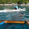 A man feeds the whale shark at Oslob, Cebu, Philippines.