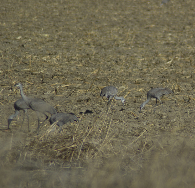Sandhill cranes feeding north of Othello, WA.  2008