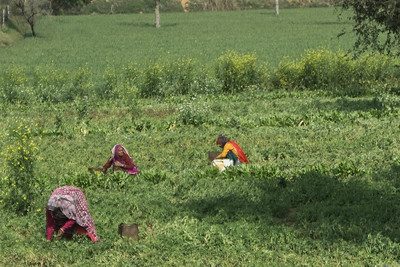 From the bus between Nagaur and Jaipur, women working in the field.