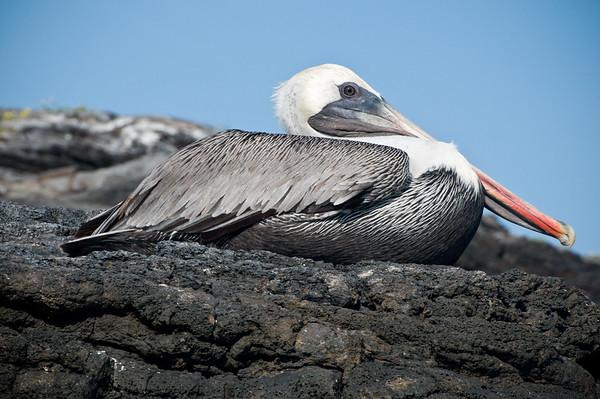 _DSC9609_pelican
