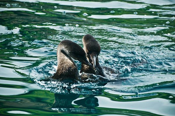 _DSC9766_cormorants