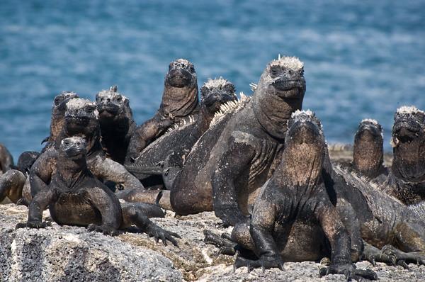 _DSC9798_iguanas_many