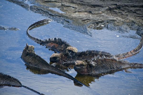 _DSC0283_iguanas