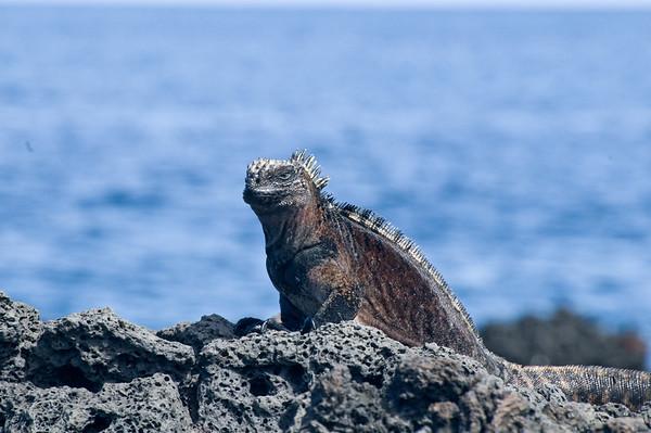 _DSC0152_iguana